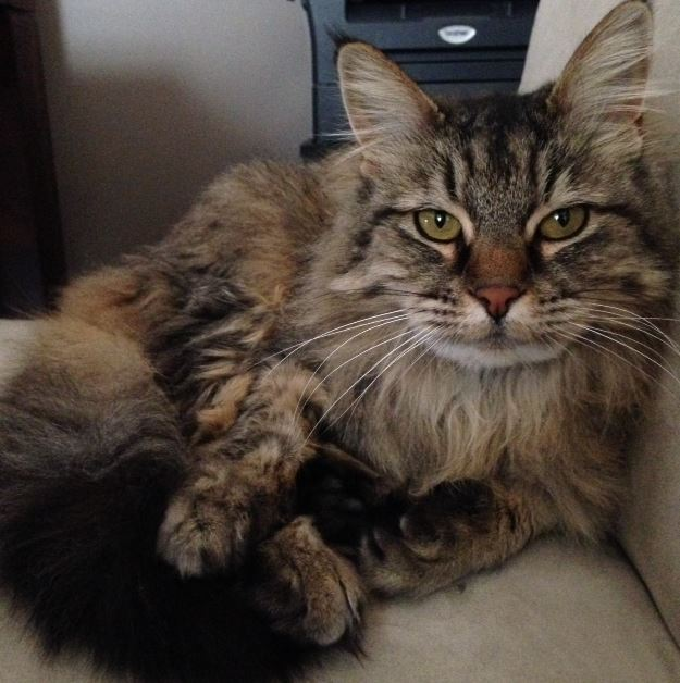 Cleo - Long Haired Tabby Cat For Adoption DC