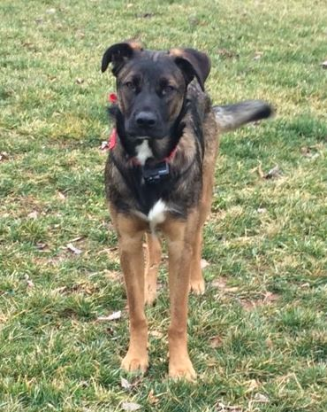 German Shepherd Mix Puppy For Adoption NC