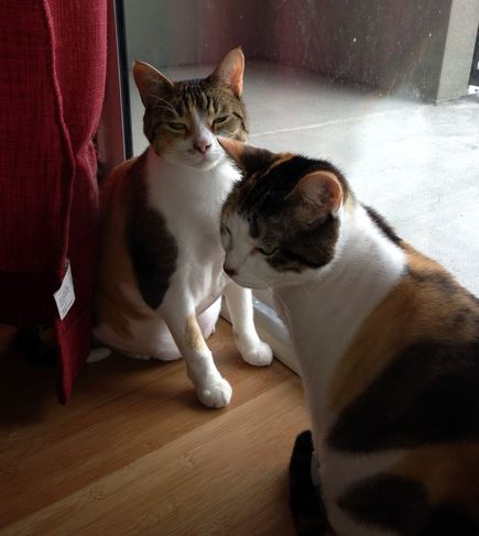 Tipsy and Casa – Gorgeous Calico Cats, 4, For Adoption in Tampa