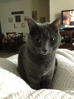 Creme – Adorable Grey Cat, 5, Seeks New Home Urgently Due to Severe Allergies – Jacksonville, FL