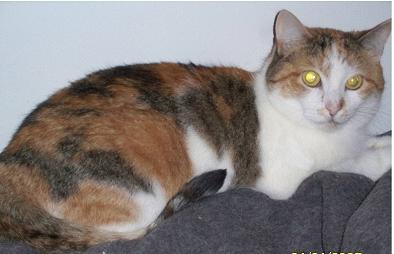 Pishie – Calico Cat to adopt in Washington, VA