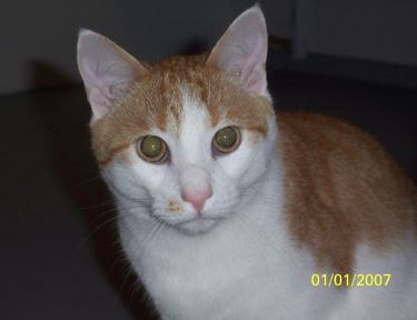 Riri – Cuddle Bunny – Orange Tabby Tuxedo Cat, 1, Male For Adoption Near Washington, DC