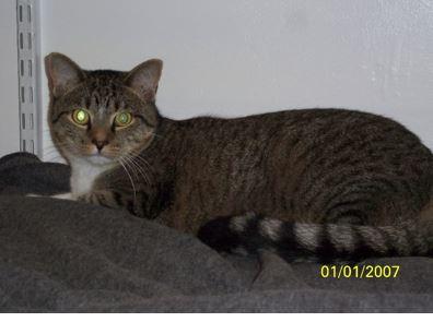 Roro – Male Tuxedo Tabby Cat, 1, For Adoption Near Washington, DC