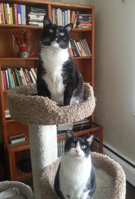 Sophie & Mimi – Gorgeous Tuxedo Girls, 4, For Adoption Near Denver