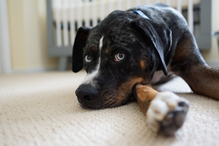 Pinkberry – Catahoula Leopard Dog to adopt in Oakland, CA