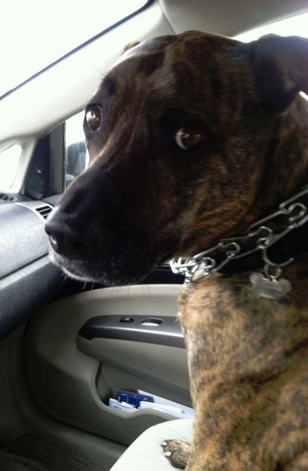 Judah – Greyhound/PitBull Mix Needs Loving, Kid-Free Home in Denver, CO