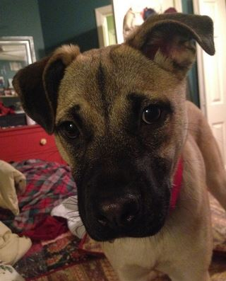 Rosie – Adorable Pug Mix Puppy Found Forever Home Near Chicago
