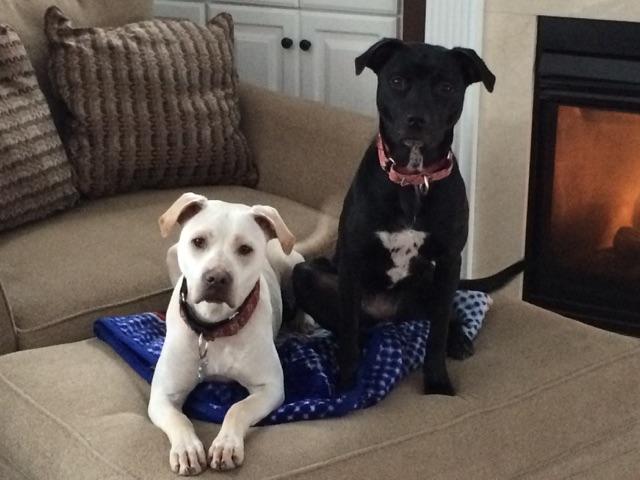 Jackson and Amelia – Adorable Lab Brother and Sister Near Providence, RI