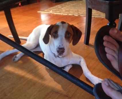 Sweet Lucy – Hound Pointer Mix For Adoption in Austin, Texas