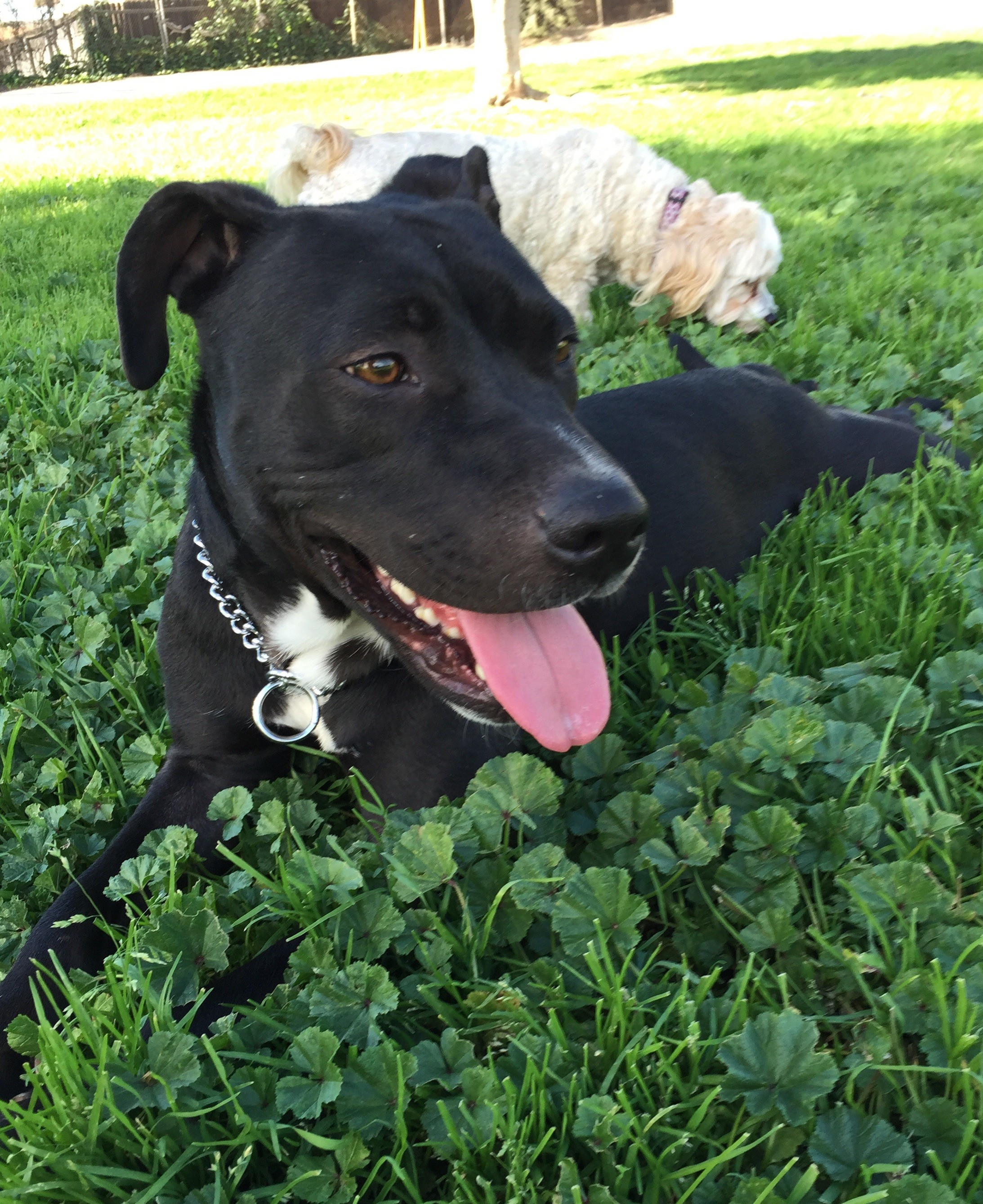 Ciella – Gorgeous Mixed Breed Girl, 2, For Adoption with Supplies – La Habra, CA