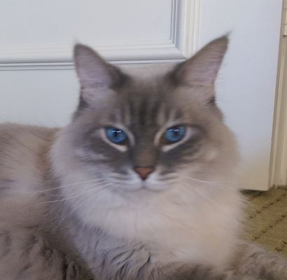 Handsome Ragdoll Mix Looking For Love in Fort Lauderdale, Florida