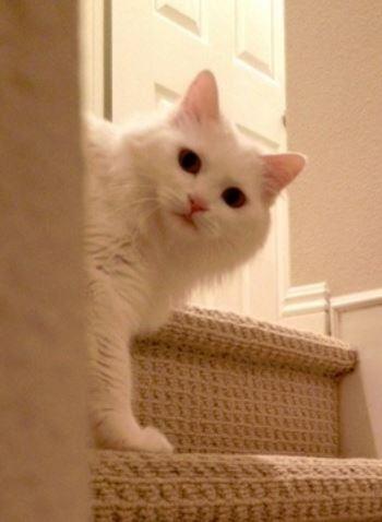 Exquisite Purebred Turkish Angora Cat Adopted in Irvine, CA