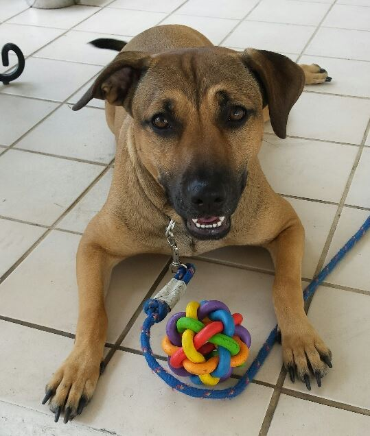 Anita – Joyful Female Lab Mix, 2, Seeks Loving Forever Home With Family To Adore – Ft. Myers, Florida