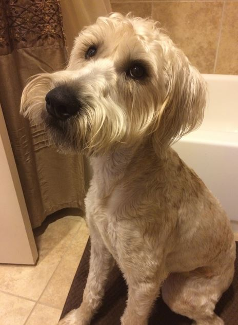 wheaten terrier rescue texas murphy soft coated wheaten terrier found a great home in 8642