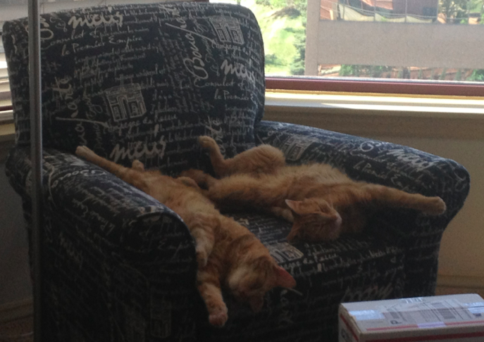 Peanut and Butters – Adorable Ginger Tabby Boys Seek Loving Home in Denver