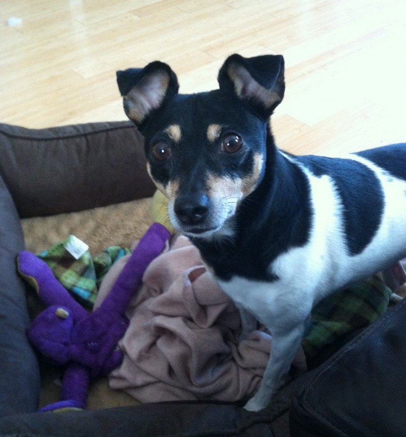 Max – Dapper and Delightful Terrier For Adoption in Austin TX