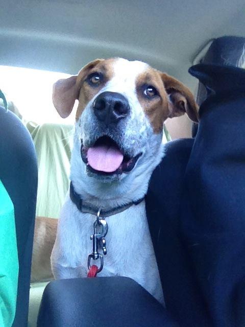 Charley Dog – Wonderful Hound Mix Boy For Adoption in Denver – Supplies Included
