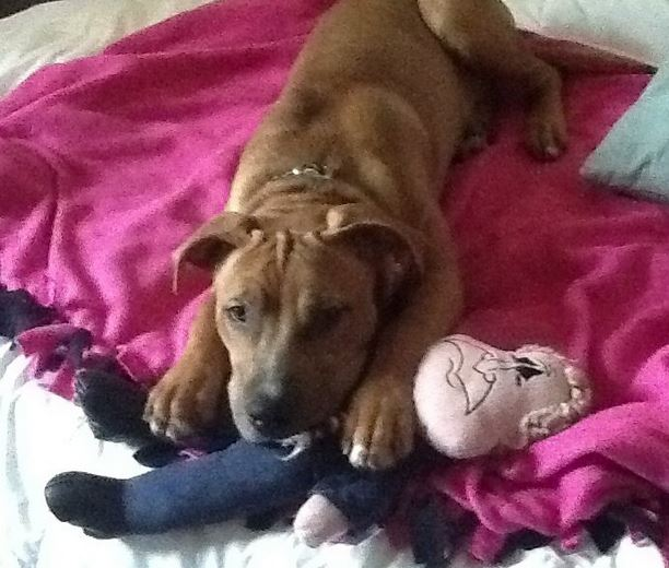 Awesome Aja – Healthy 18 month Old Male Pitbull Mix For Adoption in Baltimore