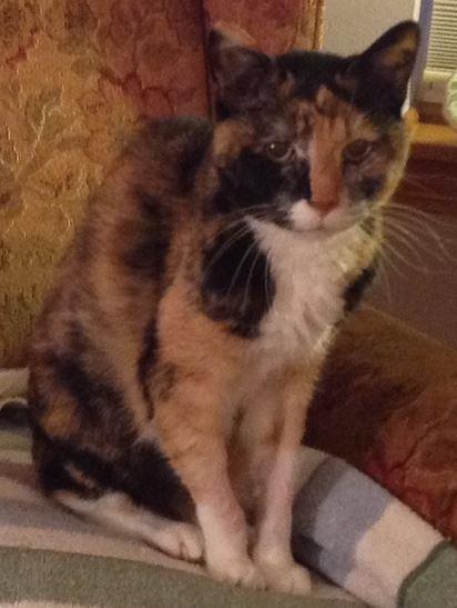 Beautiful Bessie – Loving Senior Calico Cat Looking For Calm Retirement Home Waukesha WI