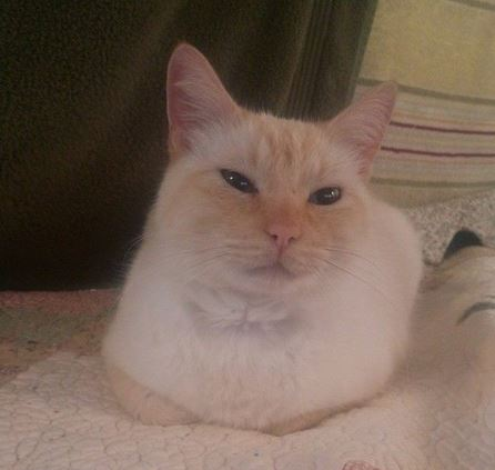 Frank – Fabulous Flame Point Siamese Cat Seeks Loving Forever Home Near San Francisco
