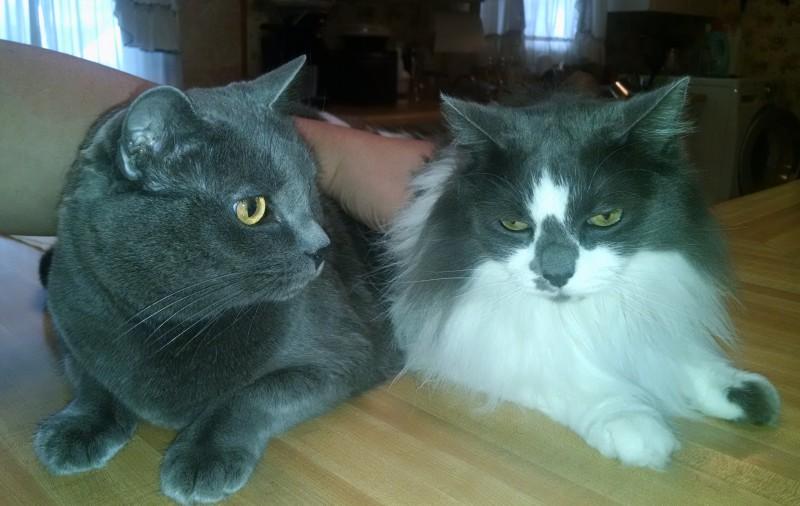 Pair of Cutie Cats Seek Loving Home Together in Las Vegas