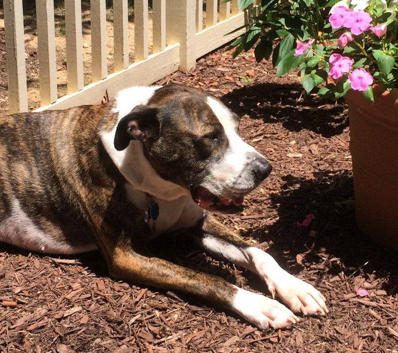 Amy – Beautiful Female Boxer Mix For Adoption in Bethesda MD