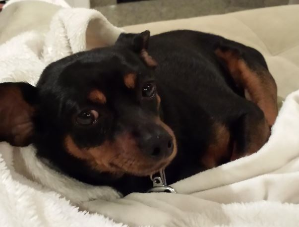 Max – 3 Year Old Purebred Min Pin Seeks Quiet, Adults Only Home in Rochester NY Area