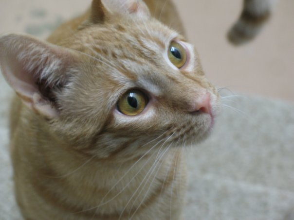 Tang – Incredibly Sweet Ginger Tabby Boy For Adoption Near Chicago