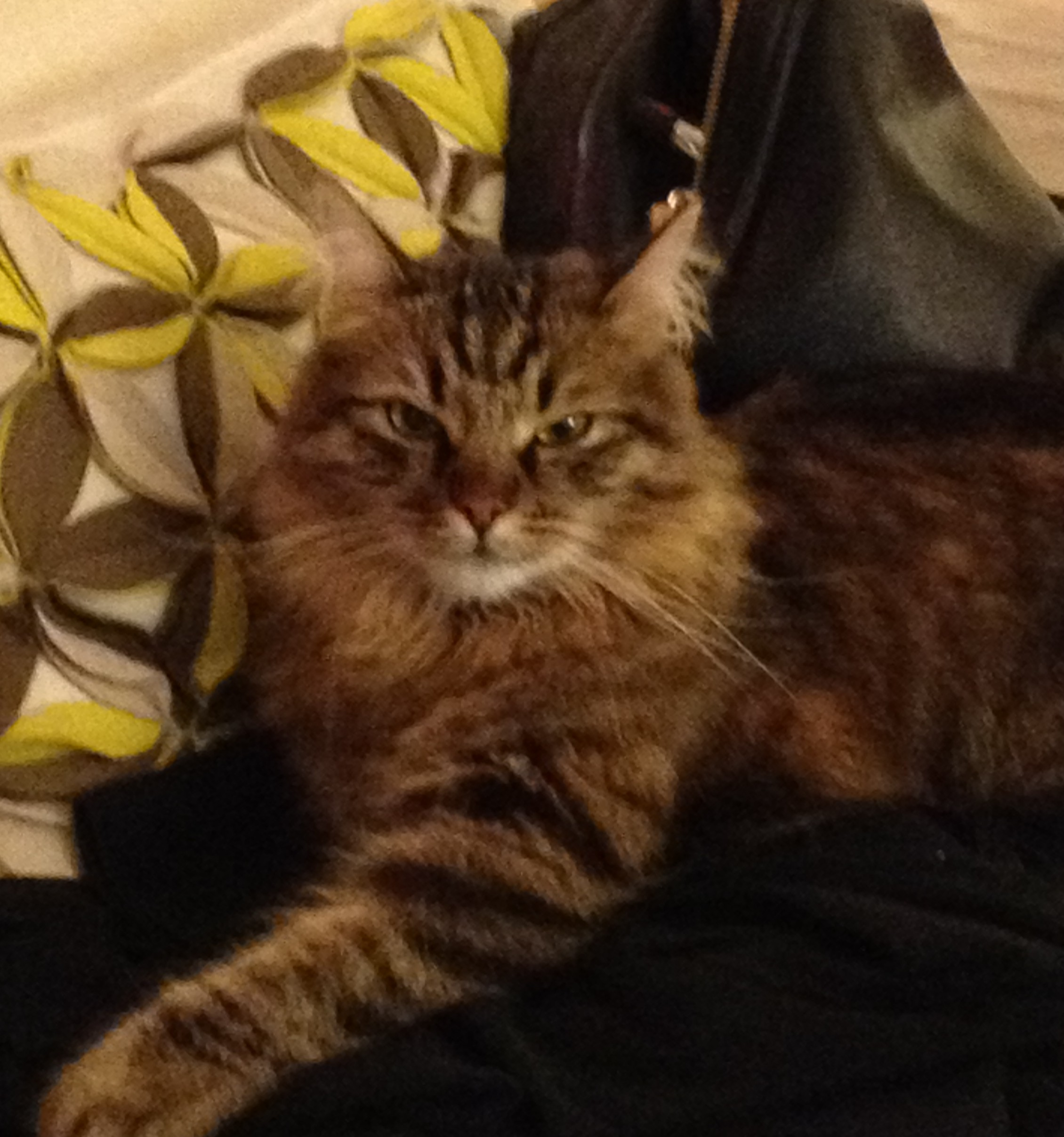 Zulu Purebred Siberian Cat For Adoption in Arlington Supplies