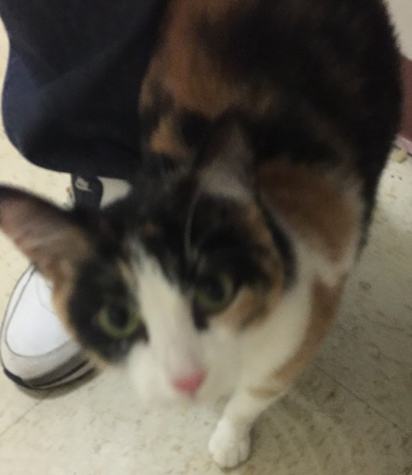 Loca – Gorgeous, Healthy Calico Cat For Free Adoption – Supplies Included – Bronx, NY