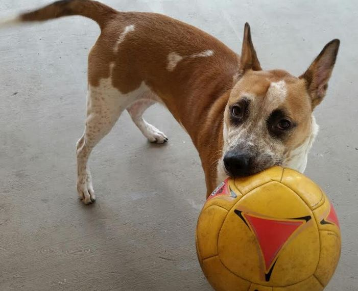 Ava – Jack Russell Terrier Mix For Adoption in Coral Springs, Florida