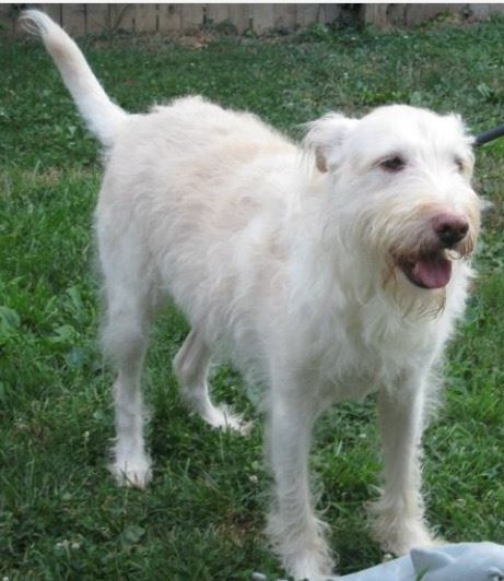 Gunner – Sweet Older Terrier/Lab Mix For Adoption in Annapolis MD
