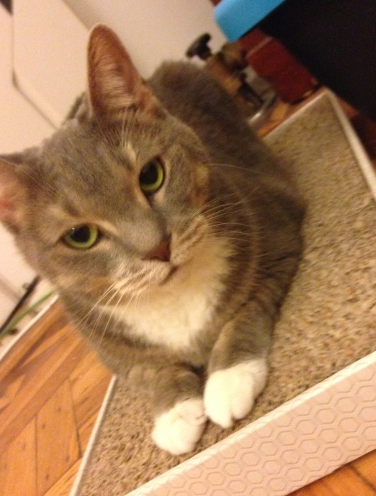 Sweet May – Beautiful Little Cuddle Cat Seeks Loving Arms of Cat Lady in NYC