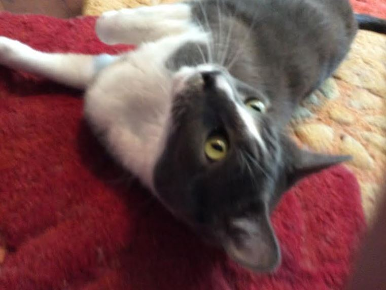ADOPTED Jonah – Gentle and Sweet Grey and White Male Cat For Adoption in Houston