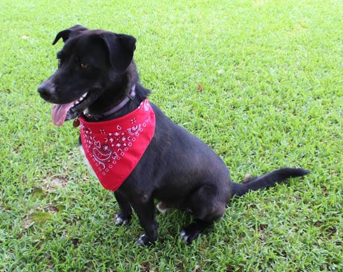 Ziggy – Adorable Lab Mix Boy, 12 mos, Including Supplies – Greenwell Springs, LA