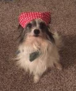 Cute Little Chester – Papillon Mix Seeks Loving Forever Home in St. Louis MO