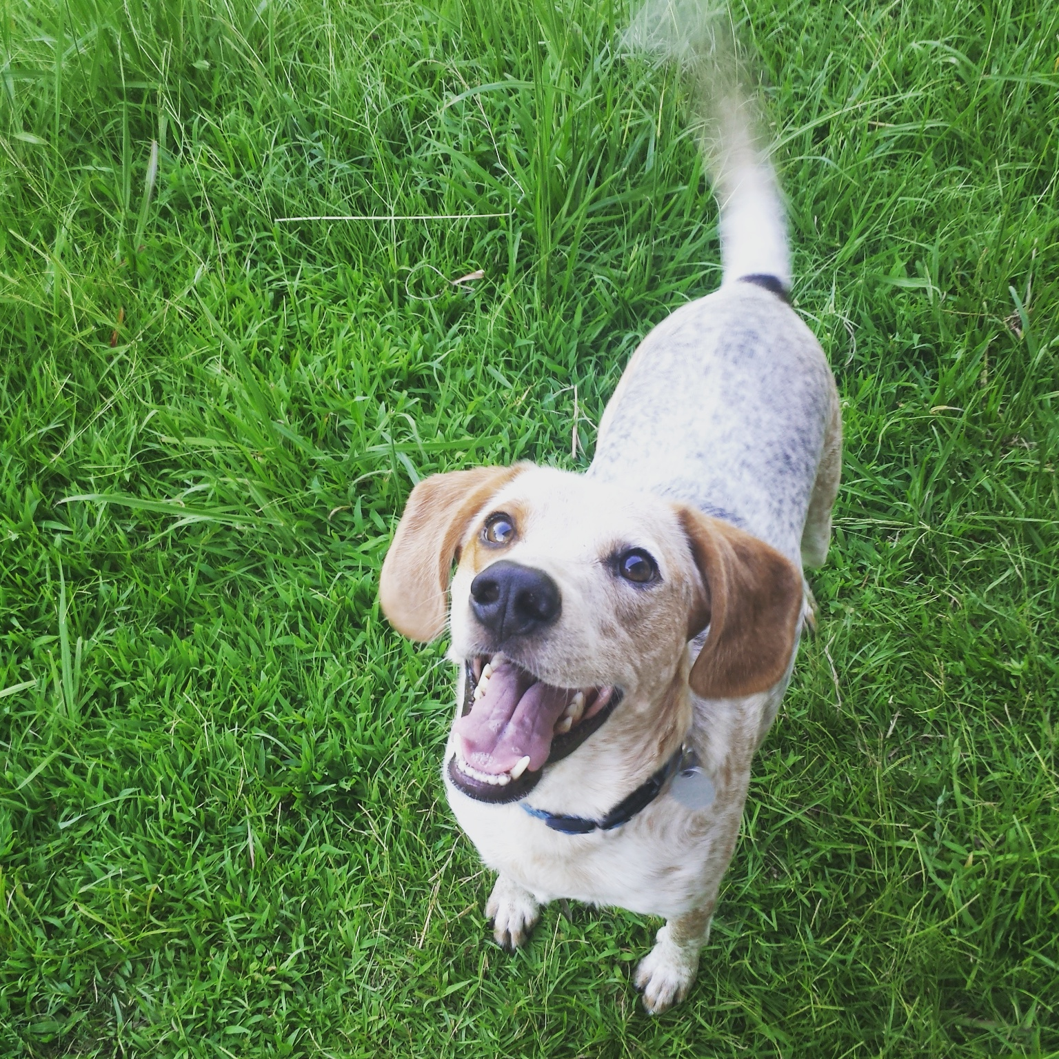 Max – Part Beagle – Part Clown – Adopt This Adorable Dog in Collinsville, MS
