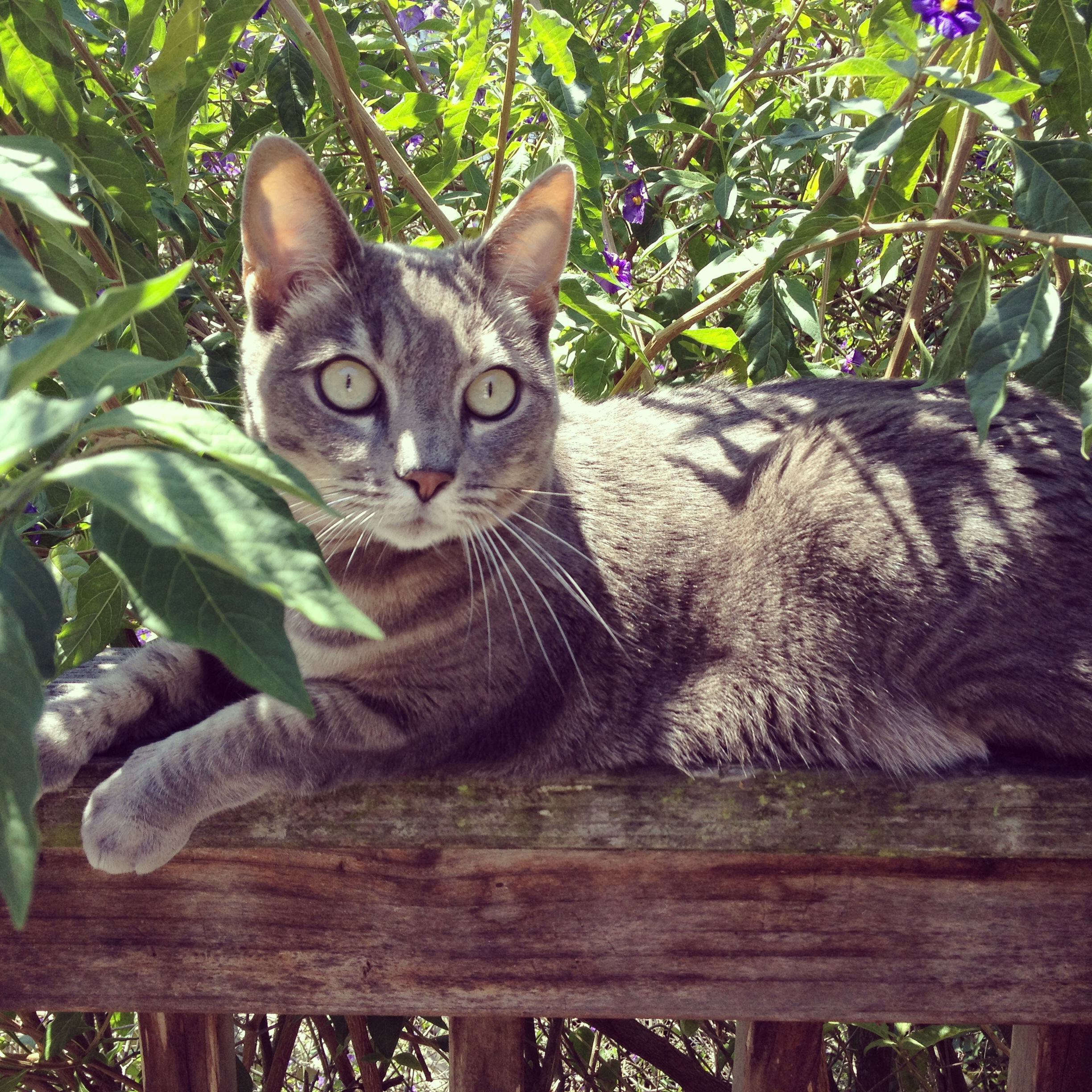 Mabel – Snuggly, Goofy and Gorgeous Female Cat Seeks Home in San Francisco