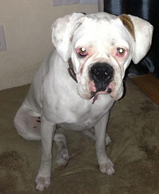 Nelly – Sweet Purebred White Boxer For Adoption in Sherman Oaks, CA
