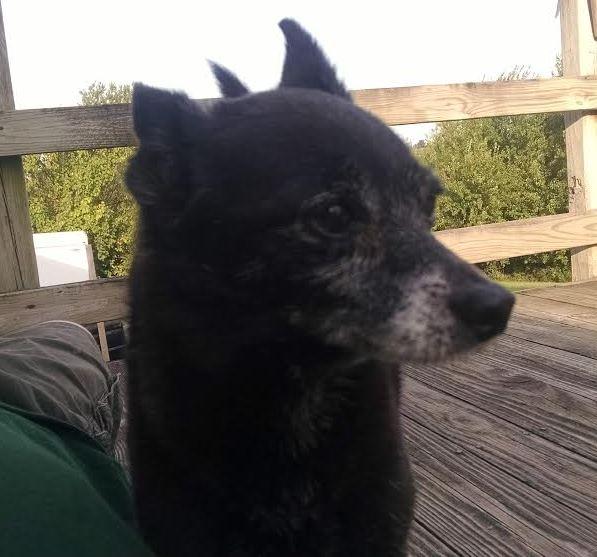 Goofy Gus – Great Little Pomeranian Mix For Adoption Near Kansas City Missouri