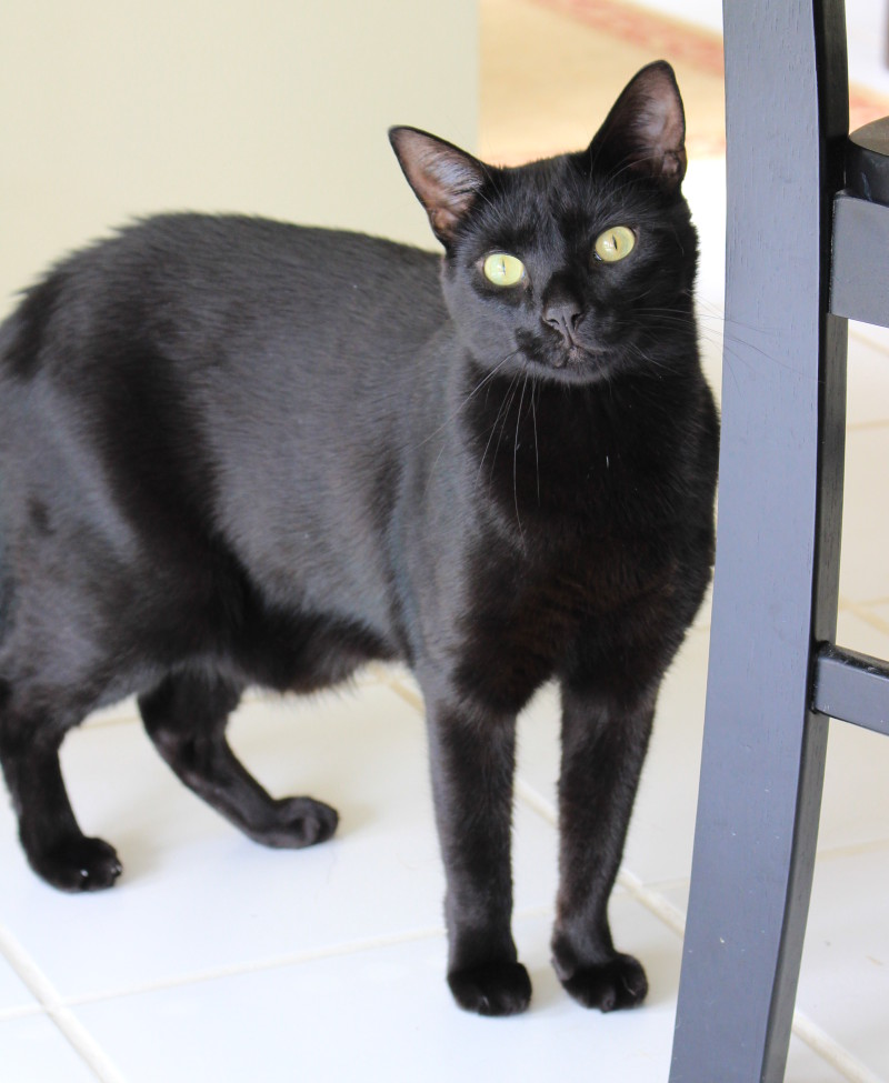 Clifford (Cliff) – Mellow Meower Seeks Loving Home and Lots of Cuddles – Lawrenceville GA