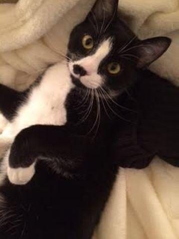 Scamp – Terrific Tuxedo Cat For Adoption in Nashville, TN