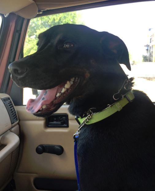 Kona – 1.5 year old Doberman Mix For Adoption in Austin
