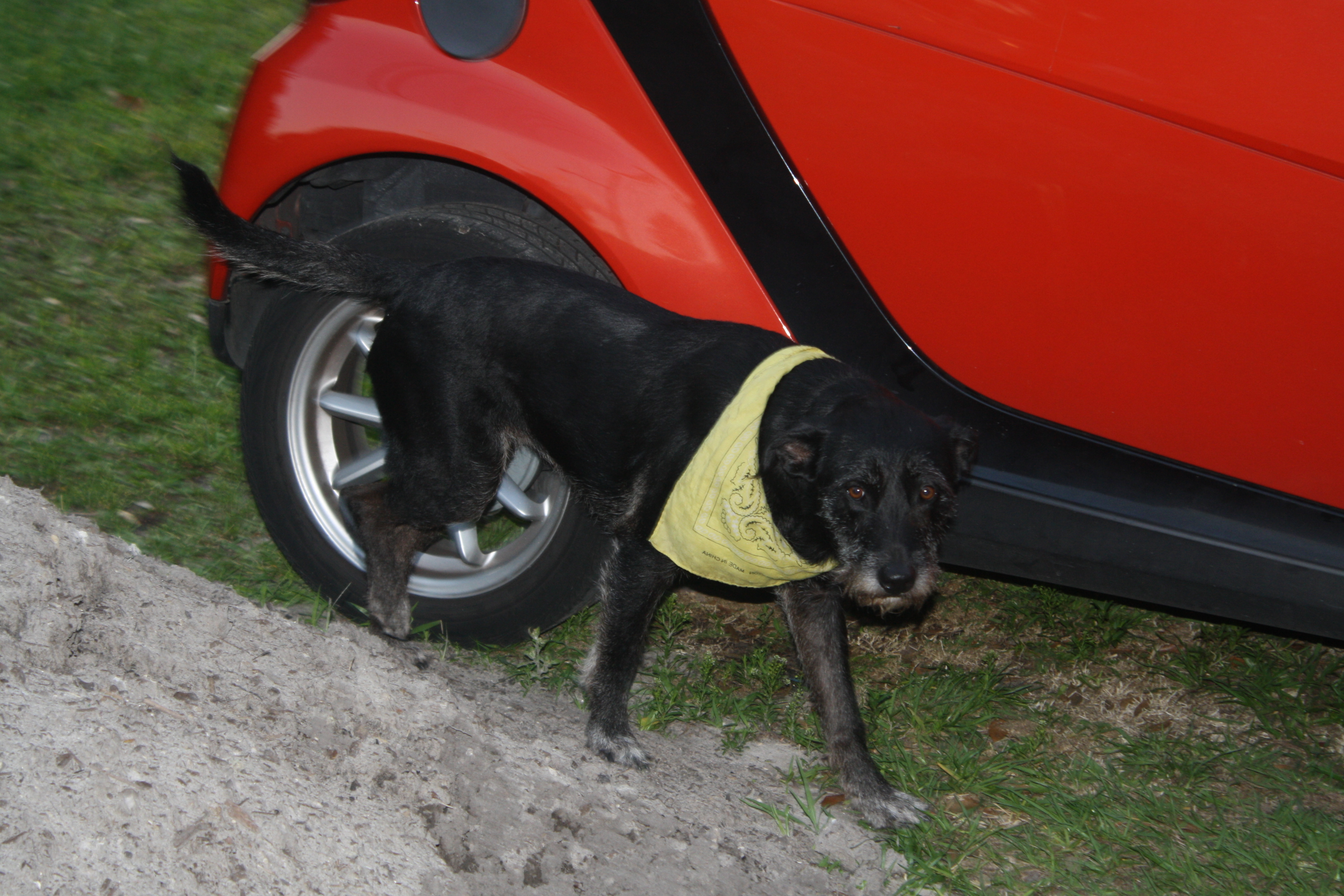 Bea – Sweet Black Lab Mix For Adoption in Orlando With Supplies
