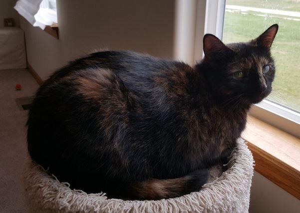 Luna – Exquisite Tortoiseshell Cat For Adoption in Joliet IL, near Chicago