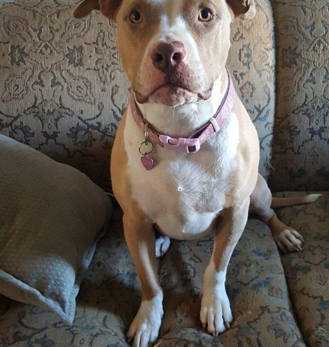 Female American Pitbull Terrier Named Harley